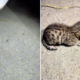 J&K wildlife officials rescue two leopard cubs