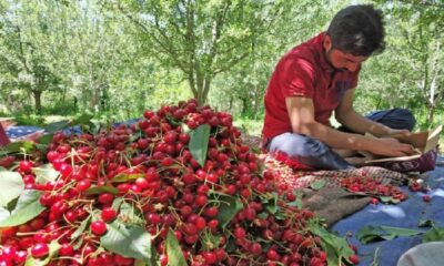 Bumper cherry season in Kashmir, government will airlift produce to support farmers