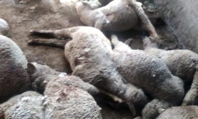 50 cows, 100 goats, 30 sheep killed in Pulwama