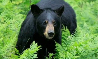 One seriously injured in bear attack in Jammu and Kashmir's Poonchho